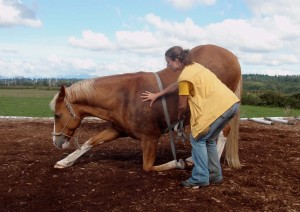 The horse learns the balancing act with the help of the foot lunge