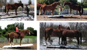On the see-saw the horse explores his gravity point. Auf der Wippe erfährt das Pferd seinen Schwerpunkt.