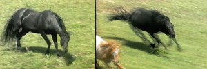 "Left: Typical ""snaking"" head movements of the stallion demand a get-go! Right: the stallion drives a mare to rejoin the herd."