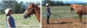 Staring at a horse is a demand to yield - Beau flattens his ears, but turns away politely (and steps backwards) Ein Anstarren des Pferdes verlangt ein Weichen - Beau legt die Ohren an, wendet sich aber höflich zur Seite (und geht rückwärts)