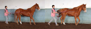 Frequent transitions from backing up to trot will help the horse to slow down and collect. Viele Übergänge zwischen Rückwärtsrichten und Antraben machen das Pferd langsamer und versammelter.