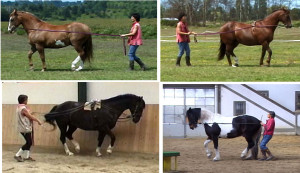 All our horses learned the concept of tilting the pelvis and collecting on the long reins. Alle unsere Pferde haben das Konzept des Kruppe Absenkens und der Versammlung am langen Zügel gelernt.