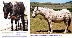 These are very depressed ears. The Vienna Fiaker horses are physically and mentally finished - the horse at the right is sick. Das sind deprimierte Ohren. Die Wiener Fiakerpferde sind körperlich und seelisch am Ende. Das Pferd rechts ist krank.