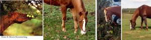 Horses love variety like we do and will eat an interesting mix of plants when given the choice. Pferde lieben Abwechslung wie wir und fressen eine interessante Mischung von Pflanzen, wenn sie die Wahl haben.