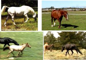 Head snaking, a side to side wobble with an outstretched low neck, is shown by stallions rounding up their mares. Kopf - Schlängeln, ein seitliches Wackeln mit ausgestrecktem tiefen Hals, wird von Hengsten gezeigt, die ihre Stuten treiben.
