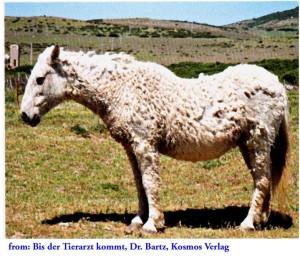 Sick horses also let their tails droop, so it can be a sign of pain! Always check for the cause. Auch kranke Pferde lassen den Schweif hängen, es kann ein Zeichen von Schmerzen sein! Immer die Ursache prüfen.