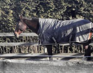 A leg kinked like this harbours no threat - this horse is asleep! So ein angewinkeltes Bein ist keine Drohung - dieses Pferd schläft!