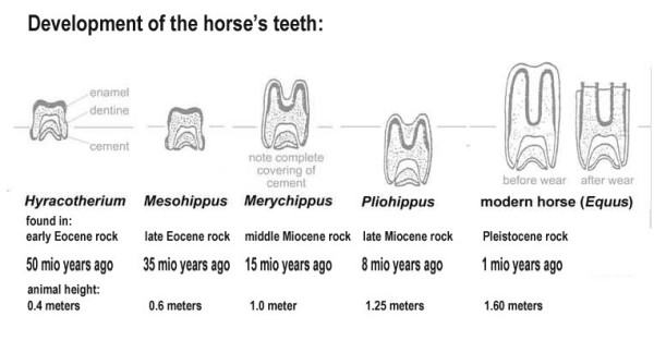 The development of the horse's teeth over time. Die Entwicklung der Zähne der Urpferde.