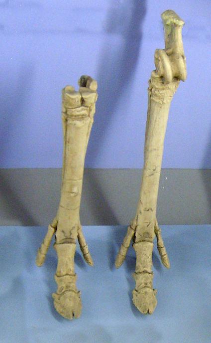 In the Oligocene the Perissodactyls still walked on three toes, the middle one bearing most of the weight. Im Oligozän liefen die Unpaarhufer noch auf drei Zehen, von denen der mittlere das meiste Gewicht trug.