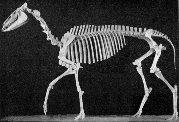Skeleton of Hypohippus - their size has reached that of a small pony, about 1 meter high. Skelett des Hypohippus - ihre Größe ist auf die eines kleinen Ponies angewachsen, etwa 1 Meter hoch.