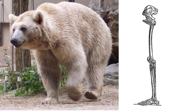 Plantigrades walk on their full foot from heel to toe - such as humans and bears. Sohlengänger laufen auf dem ganzen Fuß von der Ferse bis zu den Zehen - wie Menschen und Bären.