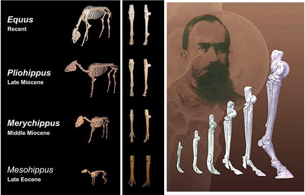 The anatomy of the limbs changes with the need for faster movement - horses are flight animals! Die Anatomie der Beine ändert sich, als schnellere Vorwärtsbewegung nötig wird - Pferde sind Fluchttiere!