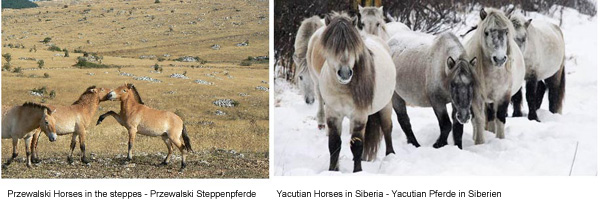Our Warmbloods are said to stem from the Przewalski Horse (left). Unsere Warmblüter sollen von den Przewalski Pferden abstammen (links).