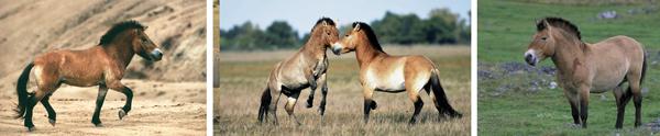 Left a Tarpan Horse, mid wild horses from Hungary, right a Przewalski Horse. Links ein Tarpan Pferd, Mitte Wildpferde in Ungarn, rechts ein Przewalski Pferd.
