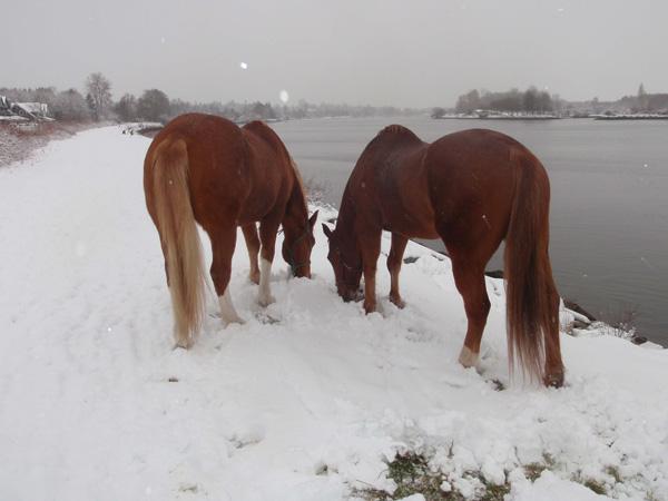 Going grazing is even fun in the snow - Beau and King don't mind cold noses! Grasen gehen macht sogar im Schnee Spaß - Beau und King macht die kalte Nase nichts aus!