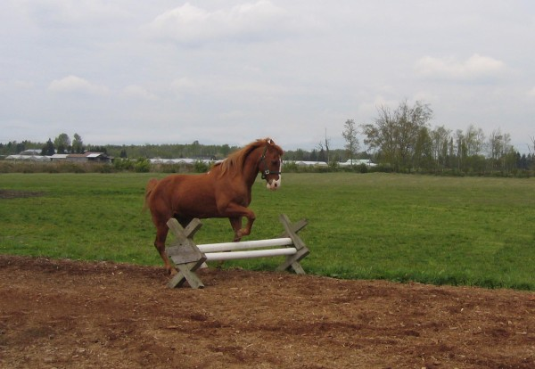 "Horse Agility - Beau gets the voice command ""over-the-jump!"" - he has understood the concept of ""over"" and does not avoid the obstacle. Pferde Agility - Beau bekommt das Stimmkommando ""over-the-jump!"" - er hat ""über"" verinnerlicht und umgeht das Hindernis nicht."