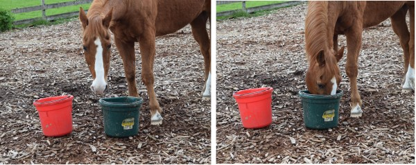 One short glimpse - and Beau has registered, which bucket is fuller! Ein kurzer Blick - und Beau hat erfaßt, welcher Eimer voller ist!