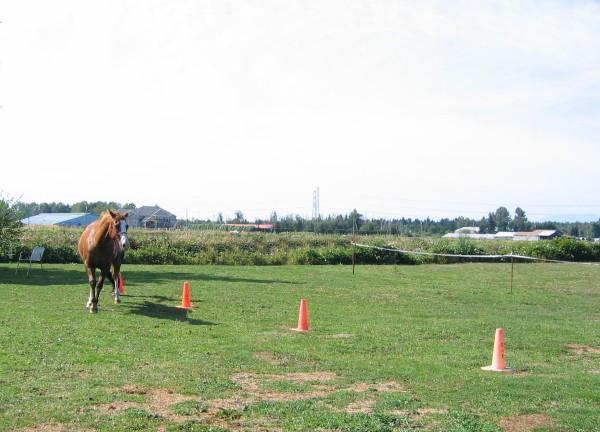 """Czar (a heavier horse) retained words very well and went through the cones with directional voice commands """" right and left."""" Czar (ein schwereres Pferd) behielt Stimmkommandos sehr gut und ging durch die Hütchen mit richtungsweisenden Stimmhilfen """"rechts und links."""""""