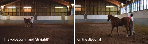 """Keeping the horse """"straight!"""" on the lose rein with voice command. Das Pferd mit Stimmhilfe auf der Diagonalen """"Gerade!"""" halten."""