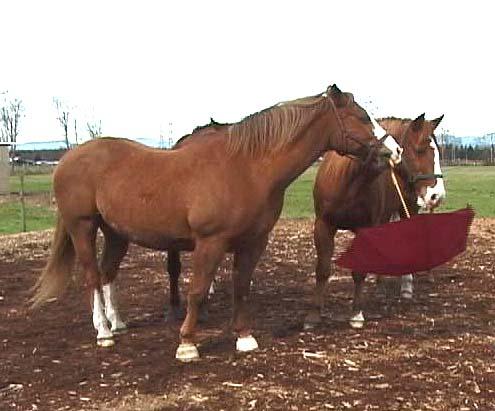 Umbrellas can be really scary! Not for these horses... Schirme können traumatisch sein! Nicht für unsere Pferde...